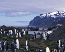 King penguins and Lambeth Bluff