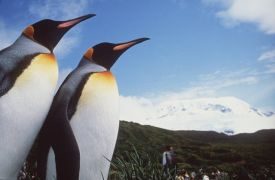 King penguins and Big Ben