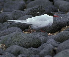 Antarctic tern