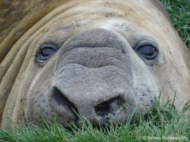 Southern Elephant Seal close-up
