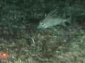 Benthic fish 'caught' on underwater video footage at HIMI