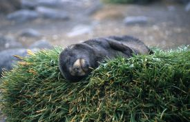 Snoozing fur seal pup
