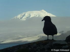 Subantarctic skua silhouetted against Big Ben