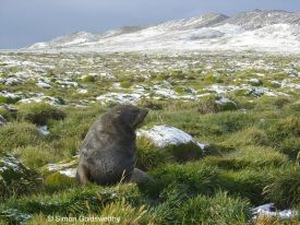 Moulting Antarctic fur seal
