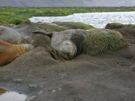 Southern elephant seals in a coastal pool complex wetland at Atlas Cove