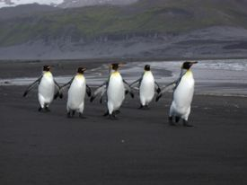 King Penguins at Heard Island