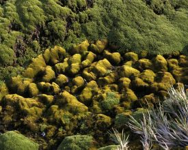 Mosses at Heard Island