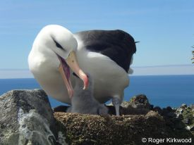 A black-browed albatross chick eagerly awaits its meal.