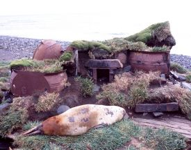 Elephant seals haul out next the remains of a sealers' tryworks