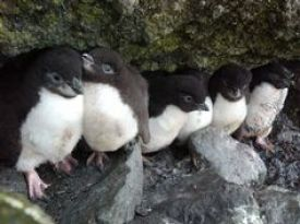 Rockhopper penguin chicks